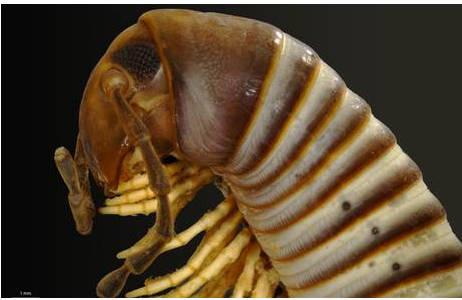 Charactopygus trilobatus Attems, 1914 (MY2461)
