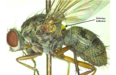 Die sogenannten Schwingkölbchen, in der Fachsprache als Halteren bezeichnet, sind das modifizierte hintere Flügelpaar (siehe Pfeil in der Abbildung); Foto: NHM Wien