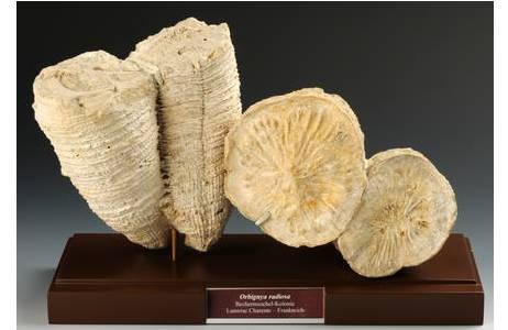 Bechermuscheln (1864-0002-0064 (links); 1864-0002-0065 (rechts))