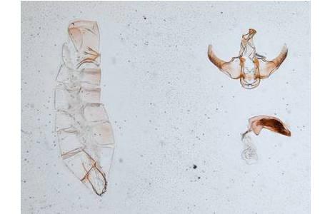 Das Foto zeigt ein männliches Genitalpräparat von Lecithocera echinata aufgenommen mit 2x Vergrößerung. Links der Hautschlauch des Abdomens, rechts oben das Genital und rechts unten der herauspräparierte Aedeagus (=das spermaübertragende Organ der Insekten); Foto: S. Saadain, NHM Wien